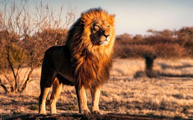Nằm mơ thấy sư tử điềm báo gì?