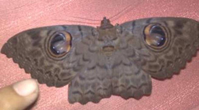 """Sự thật """"bướm mặt người báo oán"""""""